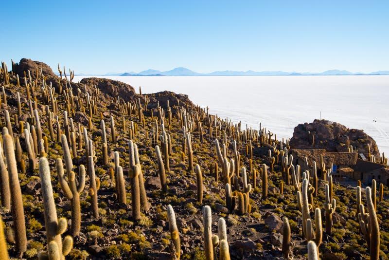 Cactus on Incahuasi island, salt flat Salar de Uyuni, Altiplano. Bolivia stock photos