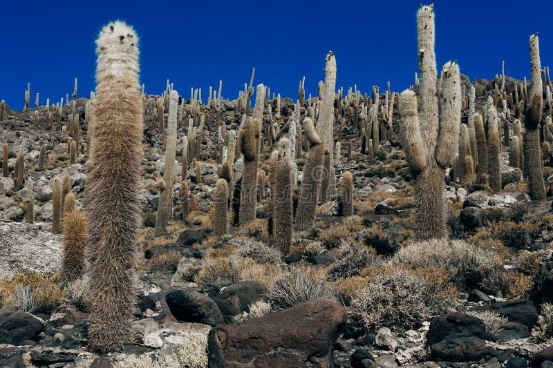 Cactus on Incahuasi island, salt flat Salar de Uyuni. Bolivia stock images