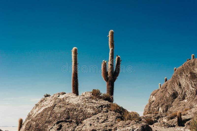 Cactus on Incahuasi island, salt flat Salar de Uyuni. Bolivia royalty free stock photography