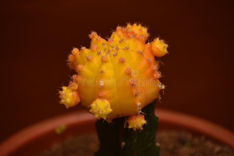 Cactus innestato giallo fotografia stock libera da diritti