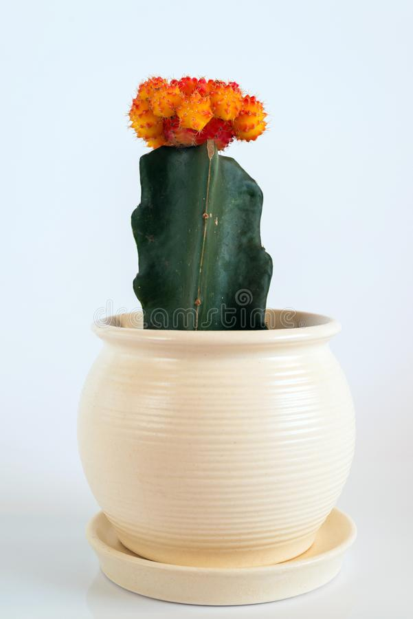 Cactus innestato in vaso bianco su fondo bianco fotografia stock