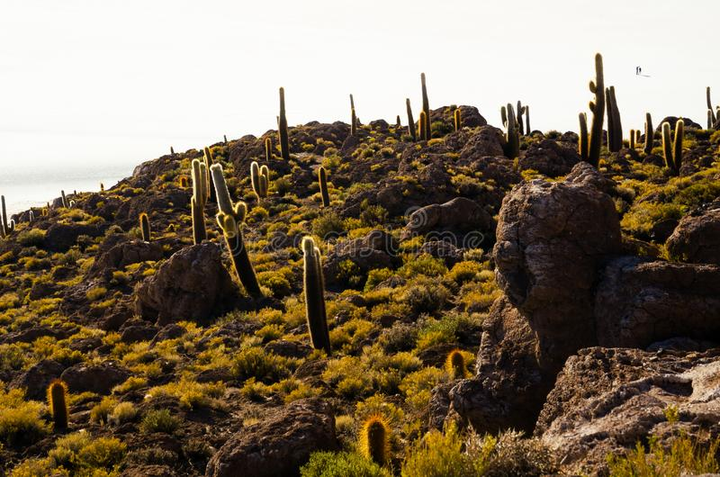 Cactus island in the Bolivian salt flat of Uyuni. Giant cactuses on a hill in the middle of a salt flat desert Uyuni in Bolivia, island, sunny, vastness stock image