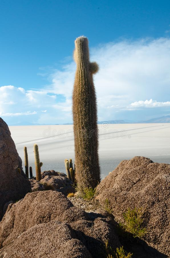 Cactus island in the Bolivian salt flat of Uyuni. Giant cactuses on a hill in the middle of a salt flat desert Uyuni in Bolivia, island, sunny, vastness royalty free stock photos
