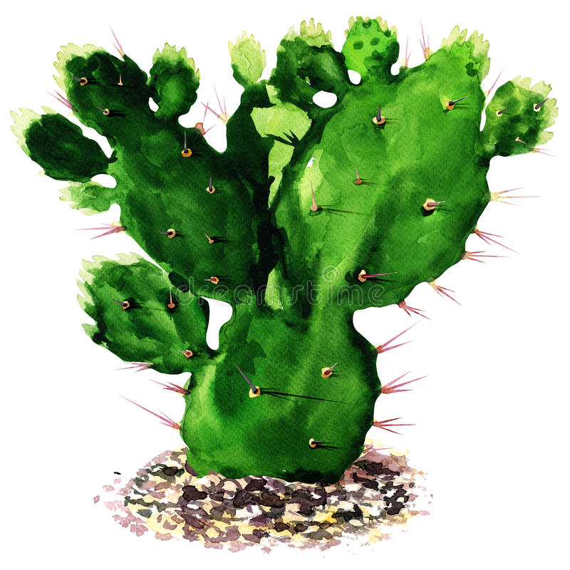 Cactus isolated, watercolor painting stock illustration