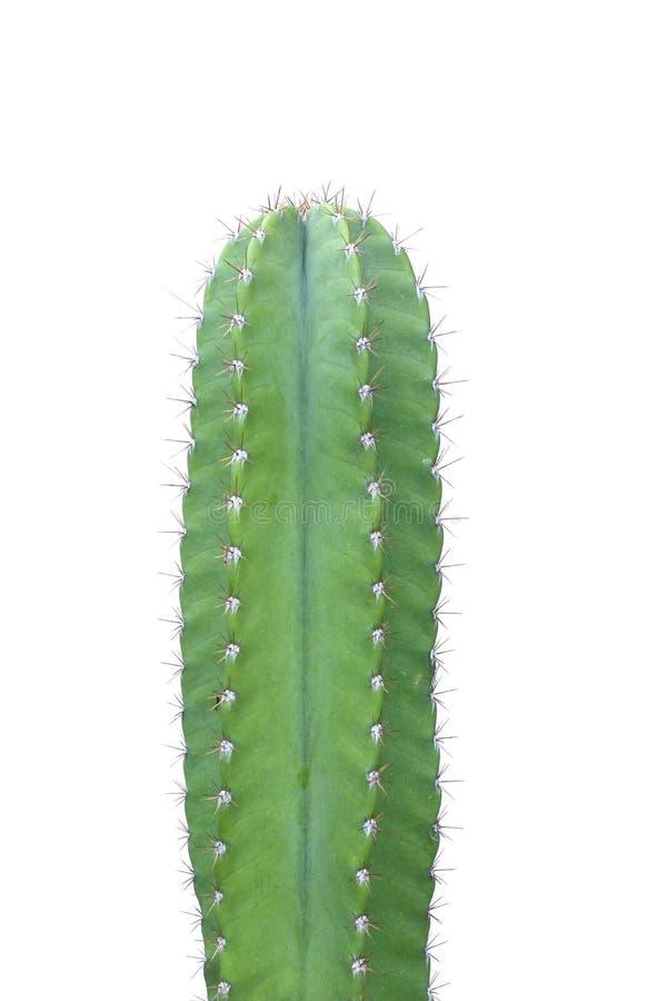 Cactus isolated on white background. stock image