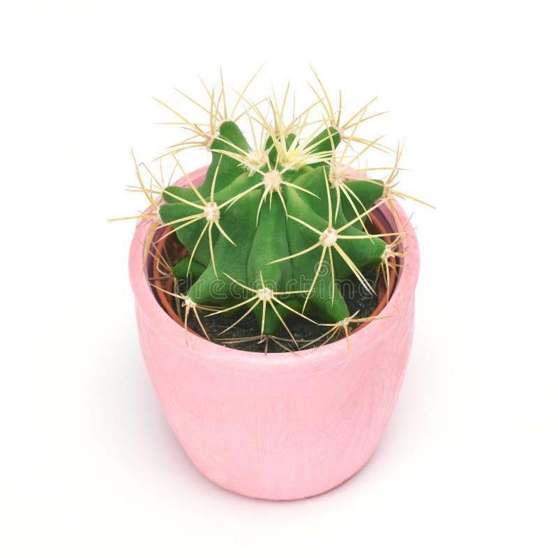 Cactus isolato con il percorso di ritaglio Vista frontale dei cactus del primo piano nel fondo ceramico rosa di bianco del vaso a immagini stock libere da diritti