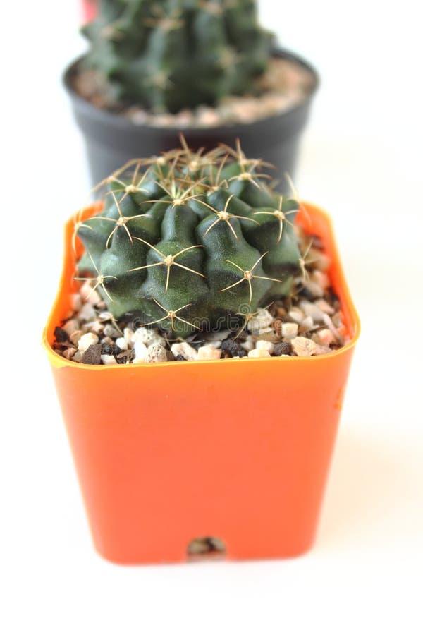Cactus isolato su fondo bianco immagine stock libera da diritti