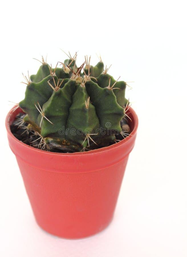 Cactus isolato su fondo bianco immagine stock