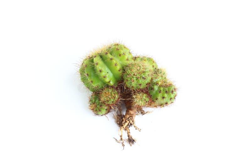 Cactus isolato su fondo bianco immagini stock libere da diritti