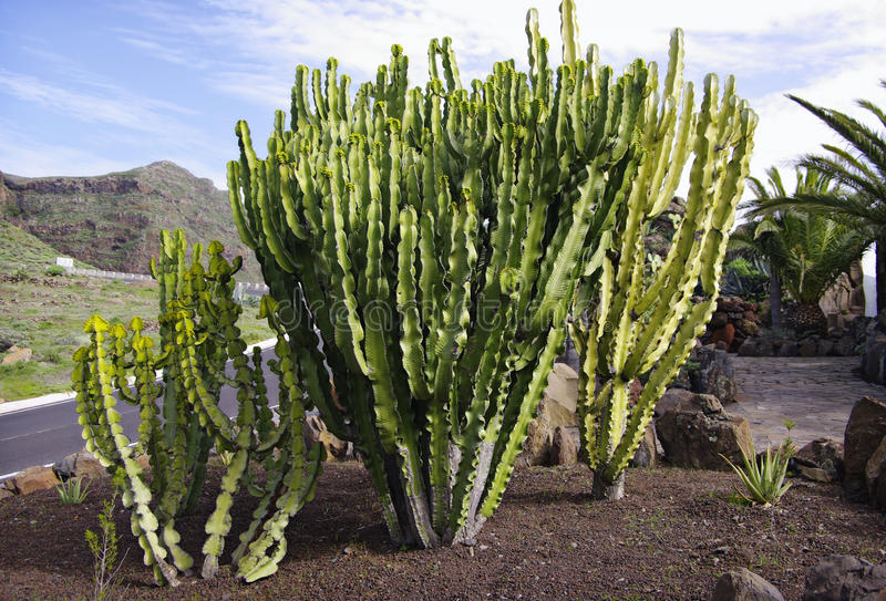 Cactus at La Gomera island. stock photos
