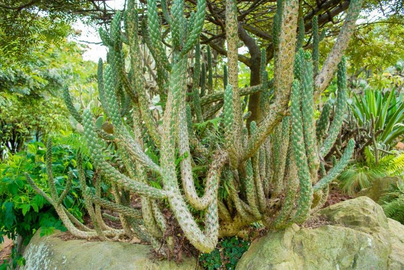 Cactus largo en el bosque fotos de archivo libres de regalías