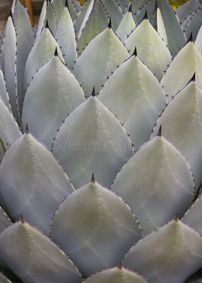 Cactus leaves royalty free stock image