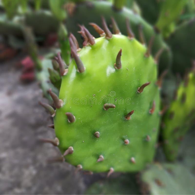Cactus Les aiguilles se ferment  Couleur verte photo stock
