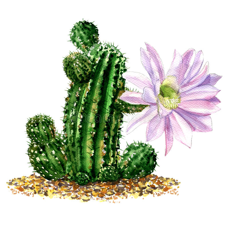 Cactus with light pink flower isolated, watercolor illustration on white stock illustration