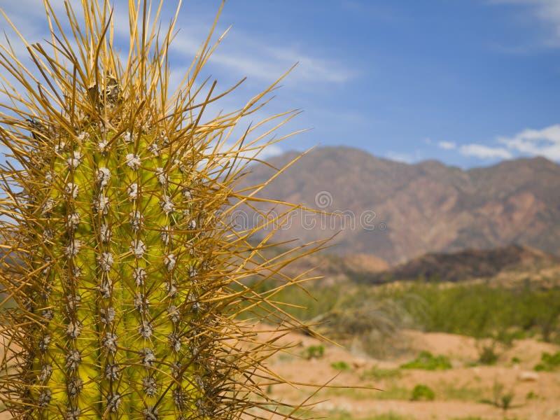 Cactus lungo della spina dorsale fotografia stock