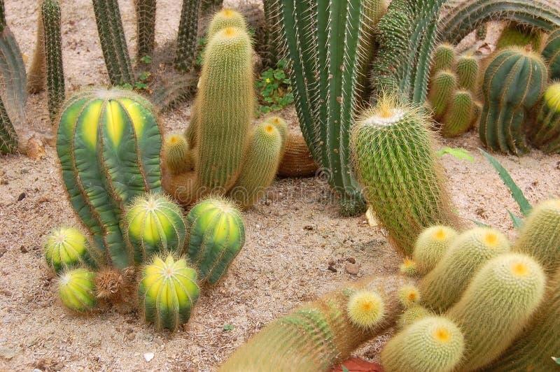 Cactus mélangés photo stock