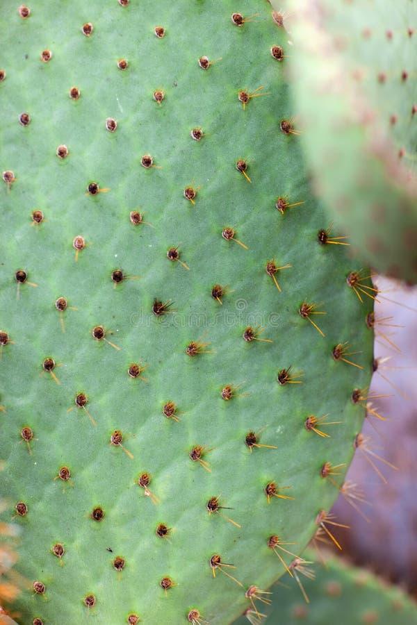 Download Cactus macro stock photo. Image of opuntia, pear, texture - 28944946