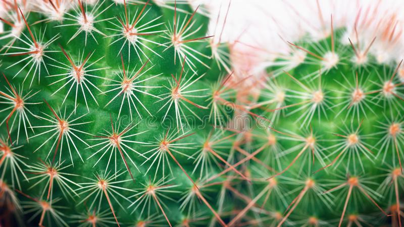 Cactus macro detail. Cacti closeup Minimal concept. Green neon Mood on white background royalty free stock images