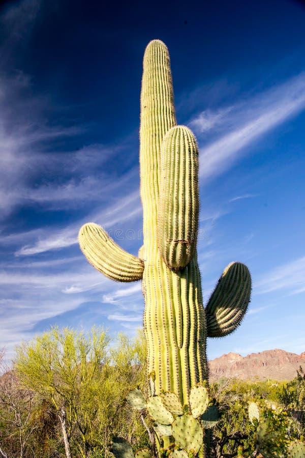 Cactus maestoso del saguaro fotografia stock
