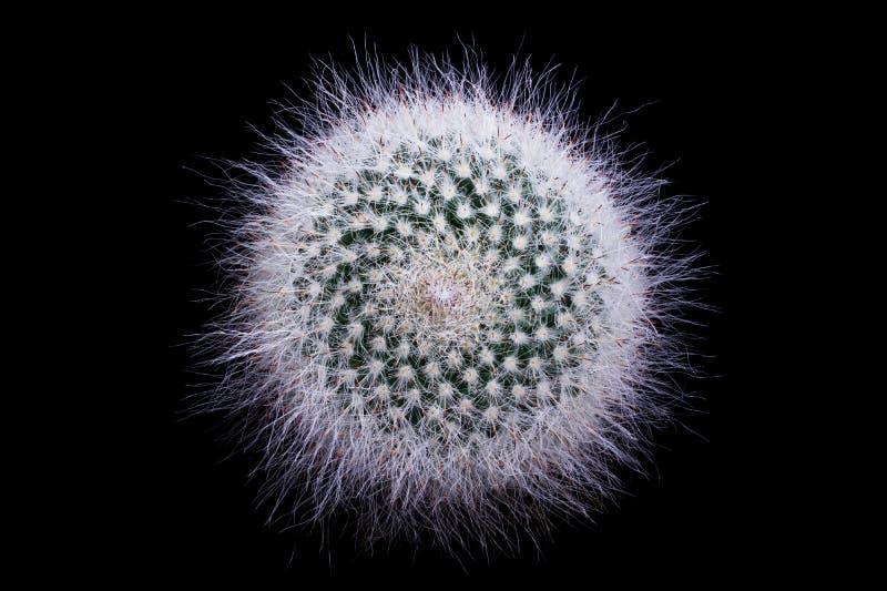 Cactus Mammillaria Brauneana Klissingiana royalty-vrije stock afbeelding