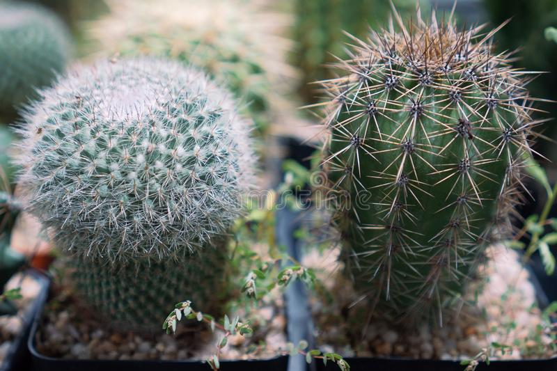 Cactus is a member of the plant family Cactaceae a family comprising about 127 genera with some 1750 known species of the order Ca. Ryophyllales royalty free stock image