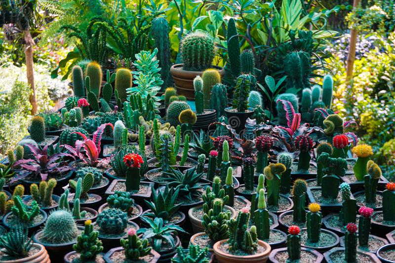 A cactus is a member of the plant family Cactaceae, a family comprising about 127 genera with some 1750 known species of the order. Caryophyllales royalty free stock photos