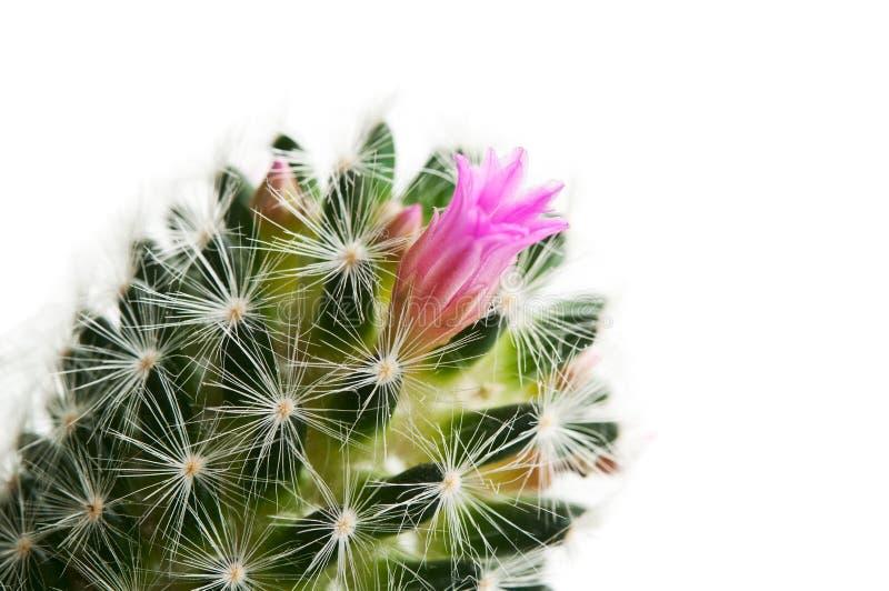 Cactus met bloem stock afbeelding