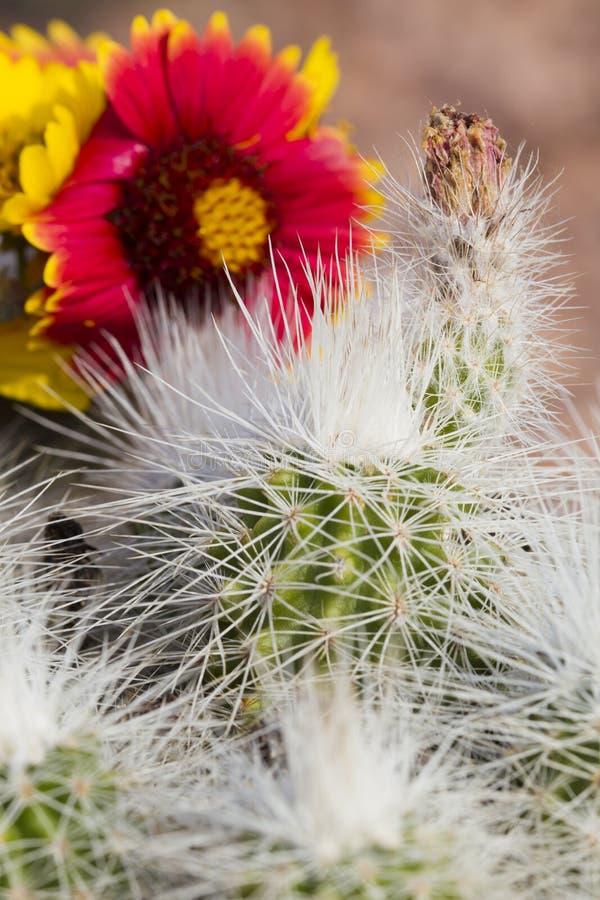 Cactus met bloem achter klap stock fotografie