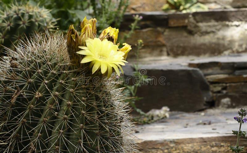 Cactus met Bloemen royalty-vrije stock foto