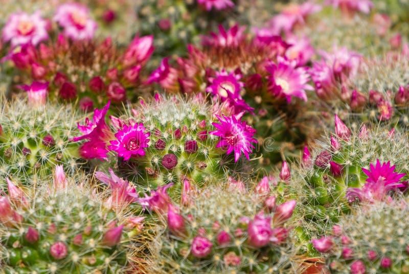 Cactus met bloesem stock foto
