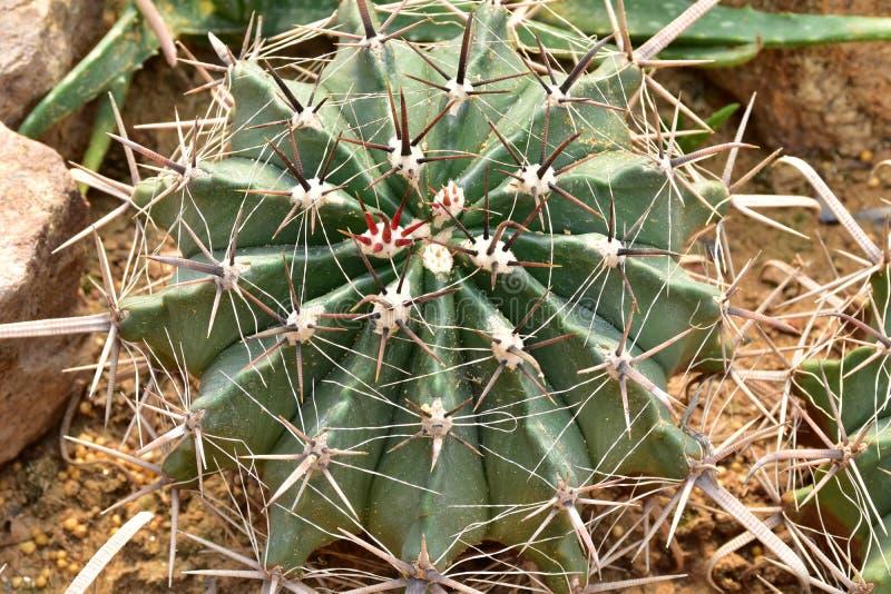 Cactus met doorn stock foto