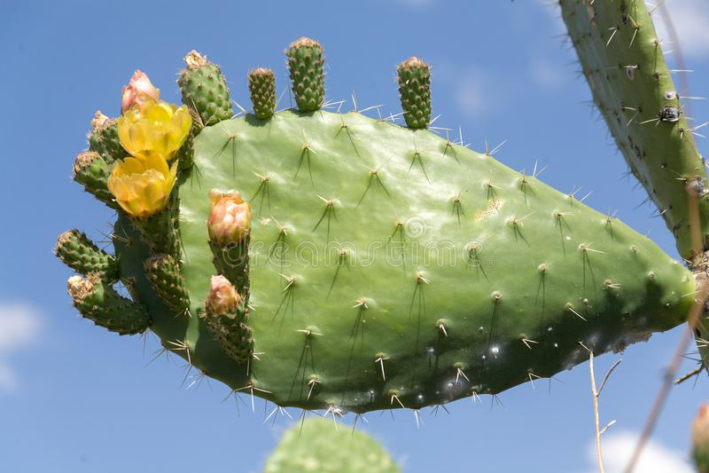 Cactus met gele bloemen en blauwe hemel als achtergrond stock afbeeldingen