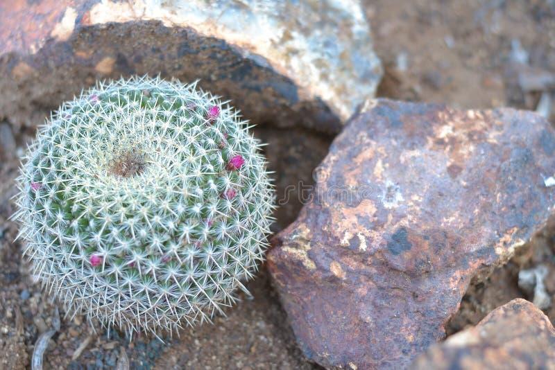Cactus met kleine roze bloemen royalty-vrije stock fotografie
