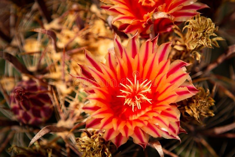 Cactus met rode bloem stock afbeelding