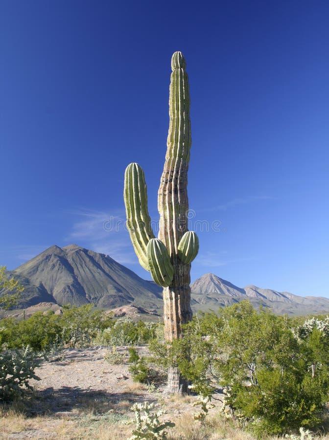 Cactus met vulkanen royalty-vrije stock foto