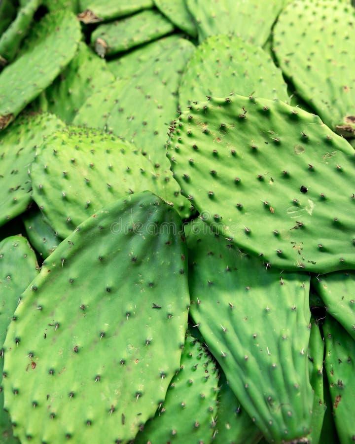 Cactus mexicain frais image stock