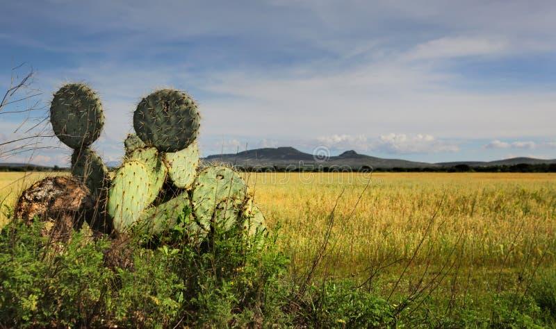 Cactus in Mexico royalty free stock photos