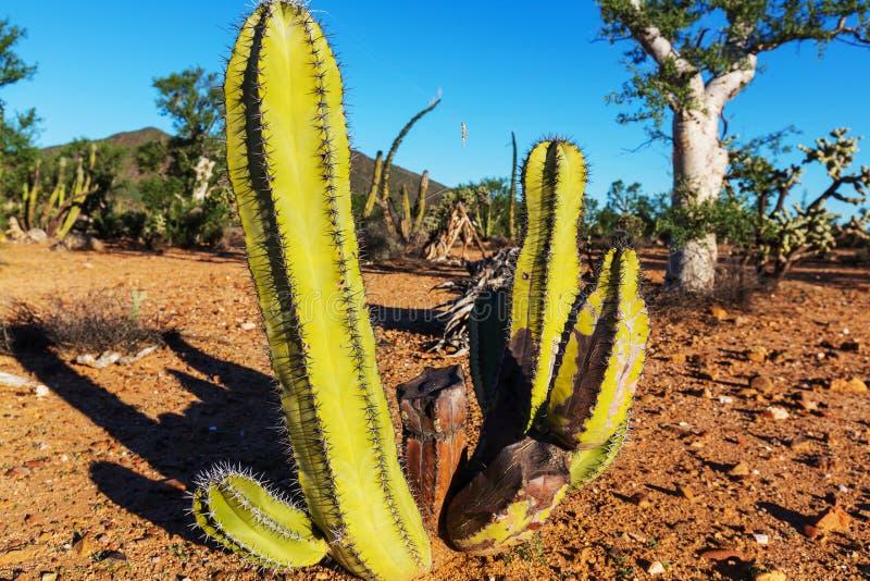 Cactus in Mexico. Cactus fields in Mexico,Baja California stock image