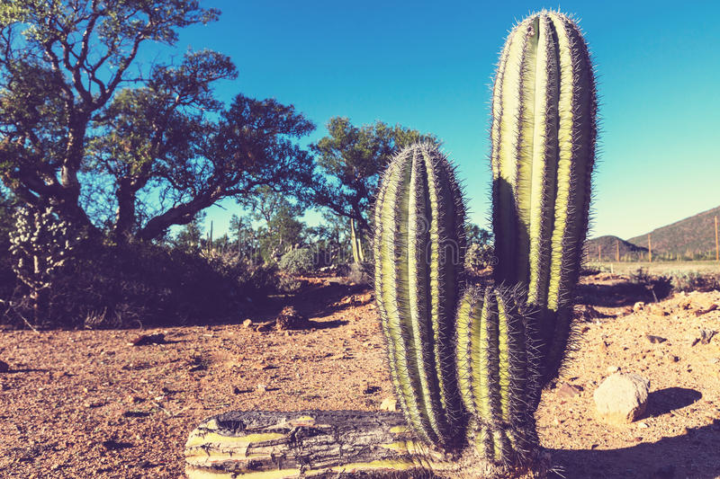 Cactus in Mexico. Cactus fields in Mexico,Baja California royalty free stock images