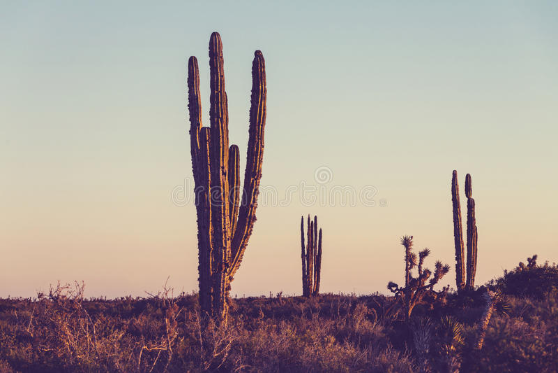 Cactus in Mexico. Cactus fields in Mexico,Baja California stock images