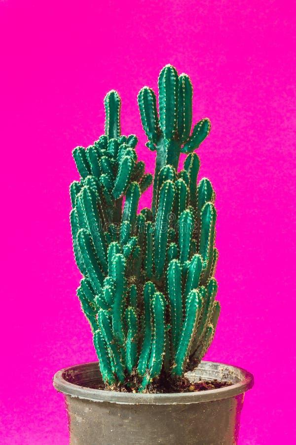Cactus. Minimal creative stillife on pink background.  royalty free stock photography