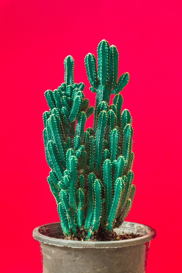 Cactus. Minimal creative stillife on red background. Empty space nature tree royalty free stock image