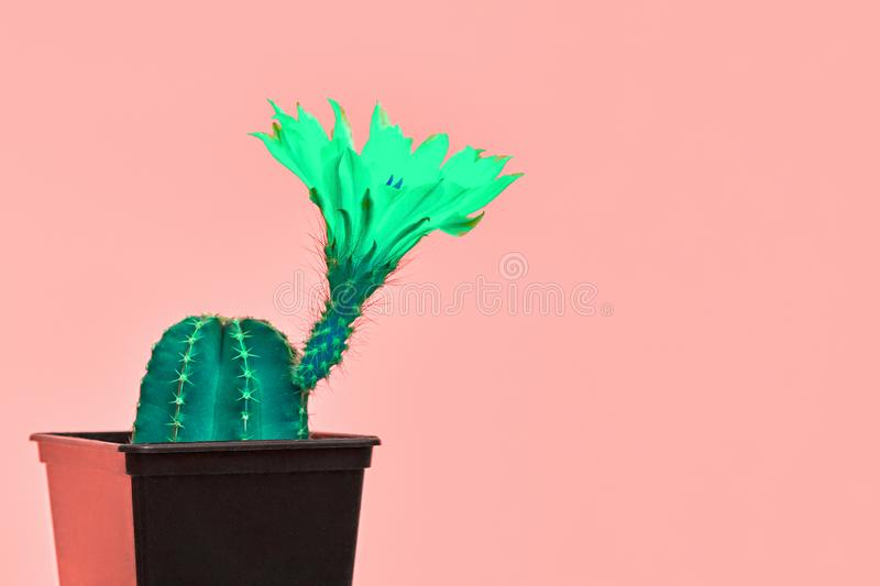 Cactus. Minimal Fashion on coral. Creative Art. Tropical Cactus in flowerpoton on Living Coral pastel background. Minimalism. Trendy fashion stillife. Creative royalty free stock image