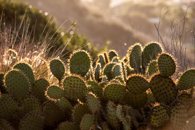 Cactus in morning light royalty free stock image