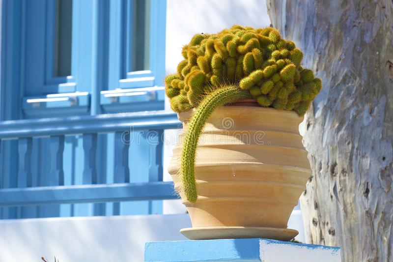 Cactus in Mykonos, Greece royalty free stock photography