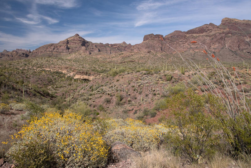 Cactus N del tubo de órgano M , Arizona, los E.E.U.U. fotografía de archivo libre de regalías