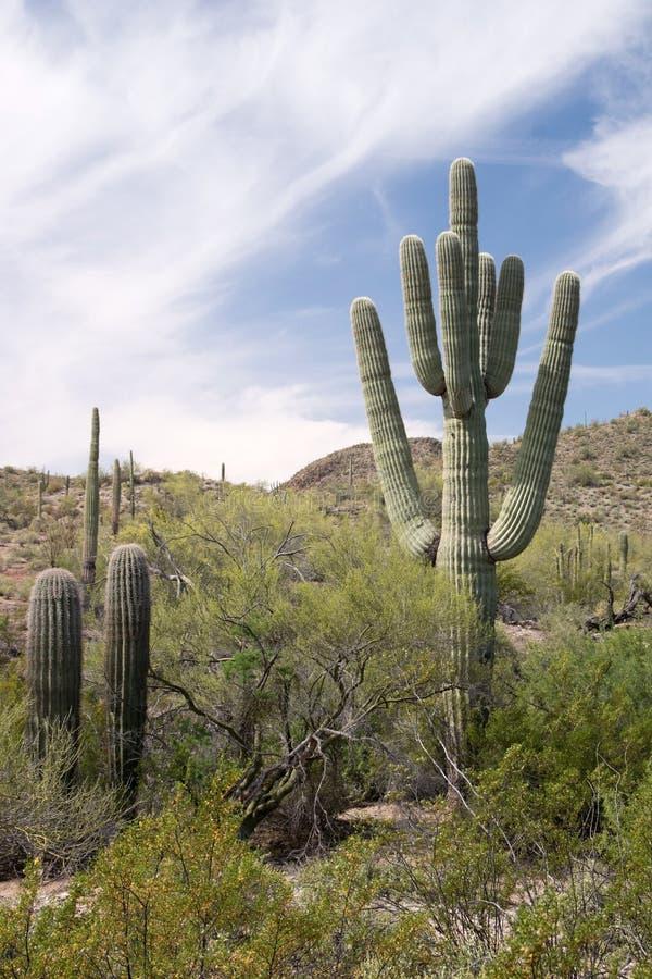 Cactus N del tubo de órgano M , Arizona, los E.E.U.U. foto de archivo