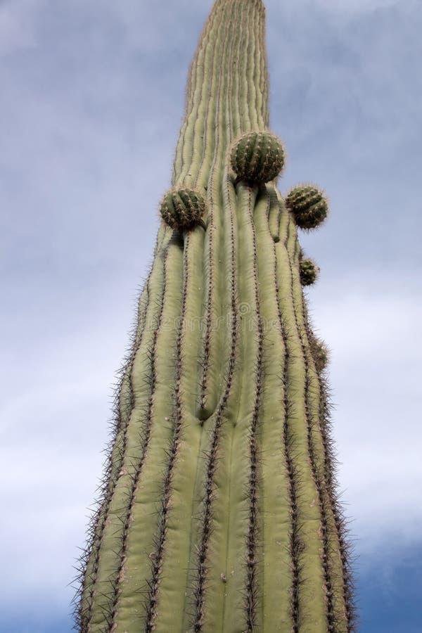 Cactus N del tubo de órgano M , Arizona, los E.E.U.U. fotos de archivo