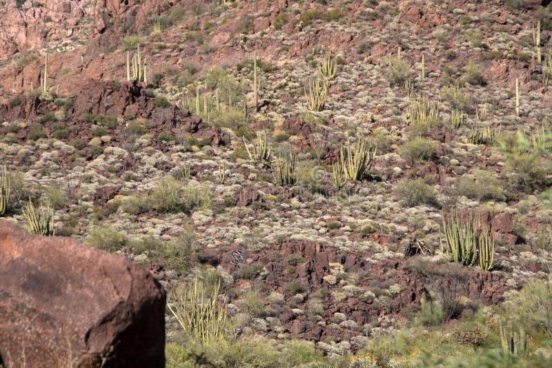 Cactus N del tubo de órgano M , Arizona, los E.E.U.U. imagenes de archivo