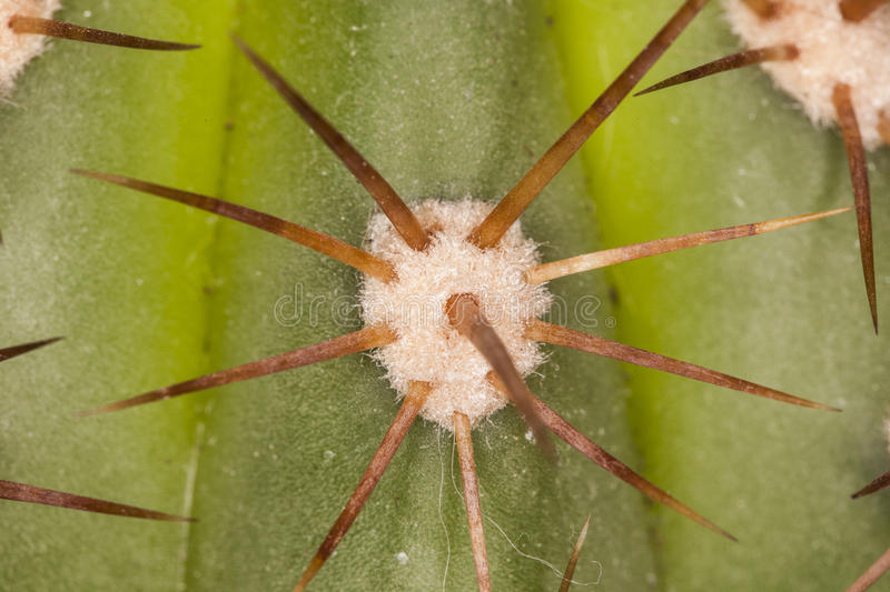 Cactus needle background. Very sharp macro picture royalty free stock photos
